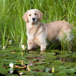 Golden Retriever standing at edge of lily pads in pond; Marlborough, Connecticut, USA (KS)