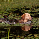 Golden Retriever swimming on retrieve in lily pond; Marlborough, Connecticut, USA
